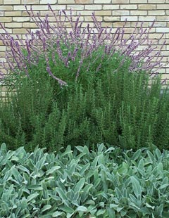 Mexican Bush Sage and Rosemary