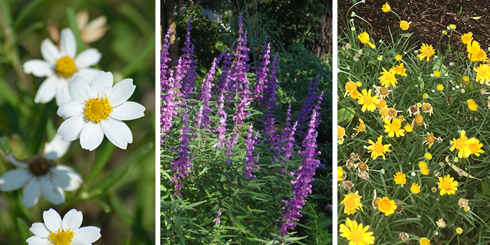 Fall Blooming Perennials - blackfoot daisy, Mexican bush sage, four-nerve daisy