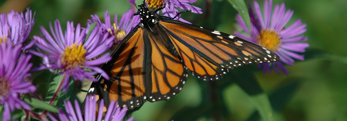 Monarch Butterfly On Fall Aster Slide