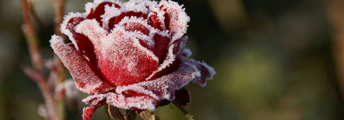 Frozen Rose Slide