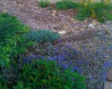 Rain garden groundcovers