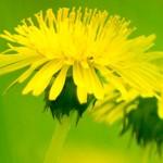Spring Dandelion Banner